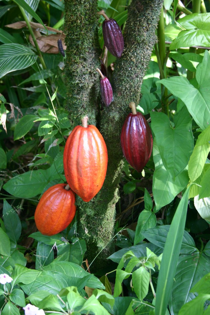 By Photo by Medicaster. (en:Image:Cocoa Pods.JPG) [Public domain], via Wikimedia Commons